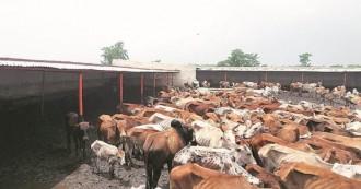 बीजेपी नेता गाय माता का सीरियल किलर, अनुदान के नाम पर डकारे करोड़ों रुपए